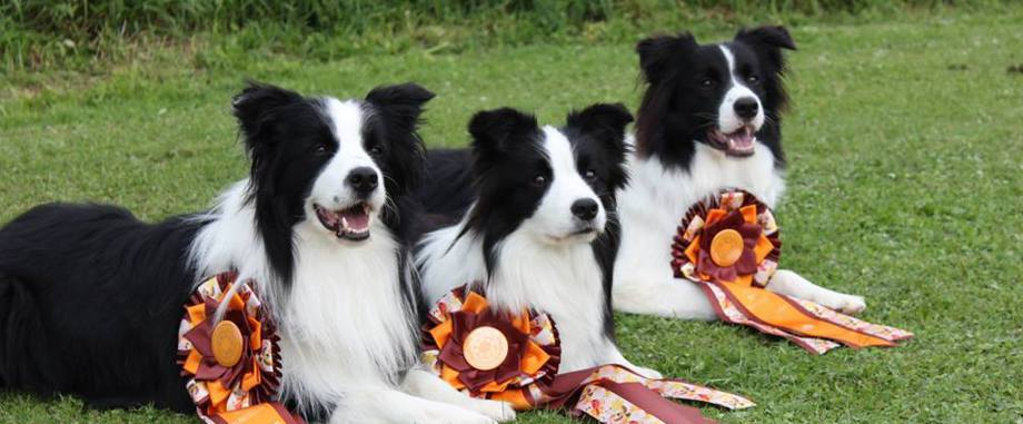 G And H Border Collies Border Collies Goodnes...